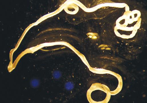 ÁNTSZ - Szívférgesség: az élősködő fonálféreg számára az ember nem a megfelelő gazda